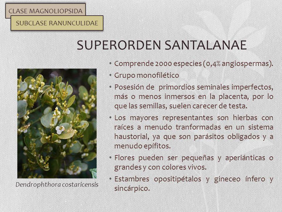 Comprende 2000 especies (0,4% angiospermas). Grupo monofilético Posesión de primordios seminales imperfectos, más o menos inmersos en la placenta, por