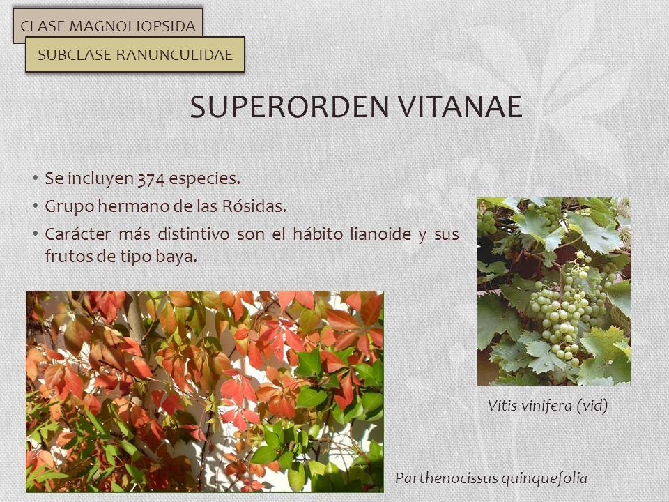 Se incluyen 374 especies. Grupo hermano de las Rósidas. Carácter más distintivo son el hábito lianoide y sus frutos de tipo baya. SUPERORDEN VITANAE C