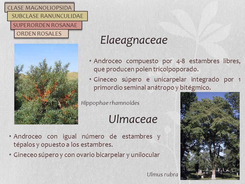 Androceo compuesto por 4-8 estambres libres, que producen polen tricolpoporado. Gineceo súpero e unicarpelar integrado por 1 primordio seminal anátrop