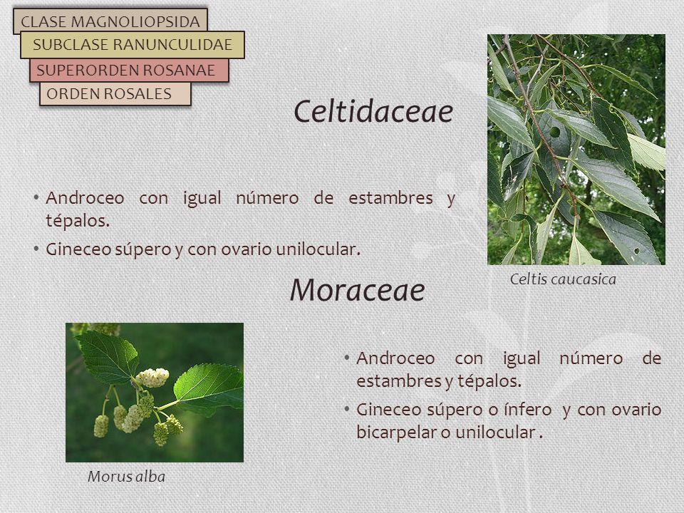 Androceo con igual número de estambres y tépalos. Gineceo súpero y con ovario unilocular. Celtidaceae CLASE MAGNOLIOPSIDA SUBCLASE RANUNCULIDAE SUPERO