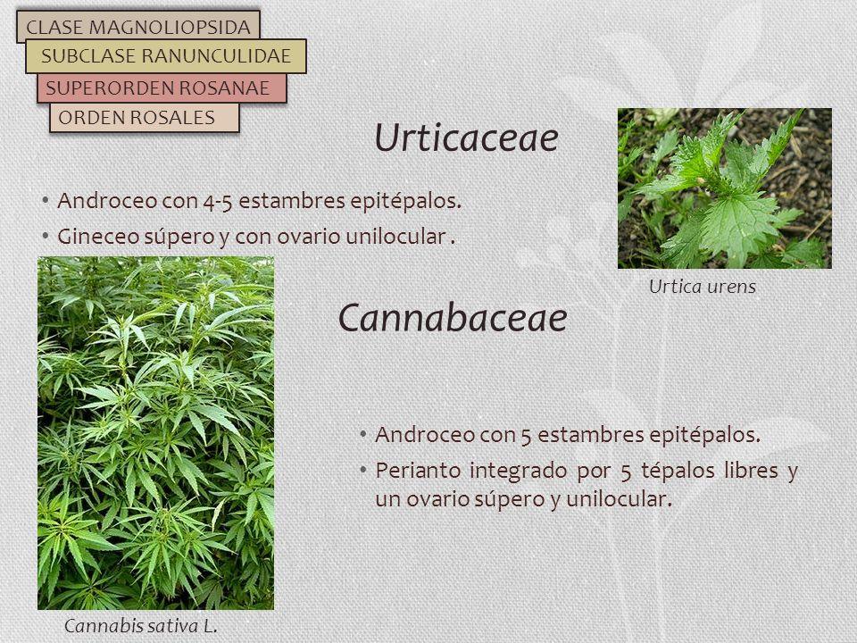 Androceo con 4-5 estambres epitépalos. Gineceo súpero y con ovario unilocular. Urticaceae CLASE MAGNOLIOPSIDA SUBCLASE RANUNCULIDAE SUPERORDEN ROSANAE