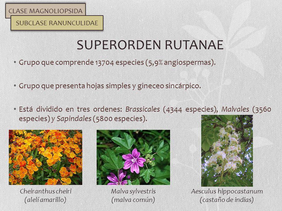 Grupo que comprende 13704 especies (5,9% angiospermas). Grupo que presenta hojas simples y gineceo sincárpico. Está dividido en tres ordenes: Brassica