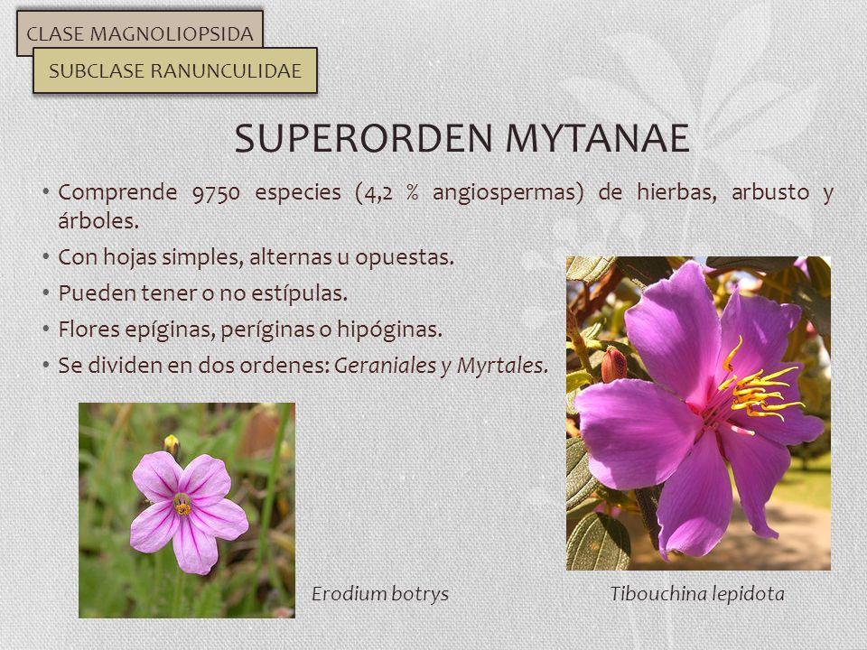 Comprende 9750 especies (4,2 % angiospermas) de hierbas, arbusto y árboles. Con hojas simples, alternas u opuestas. Pueden tener o no estípulas. Flore