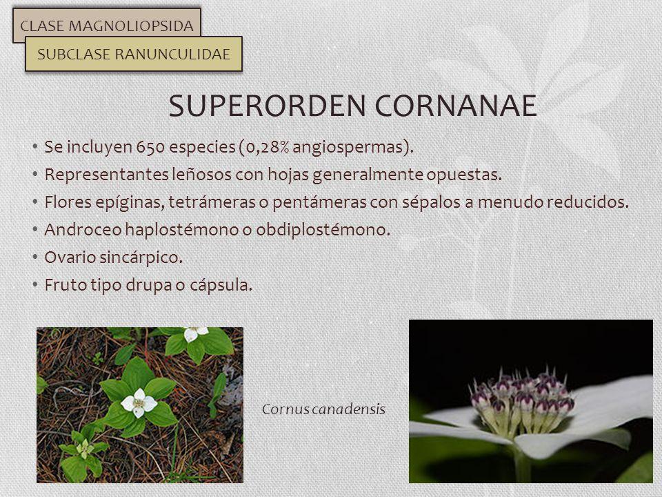 Se incluyen 650 especies (0,28% angiospermas). Representantes leñosos con hojas generalmente opuestas. Flores epíginas, tetrámeras o pentámeras con sé