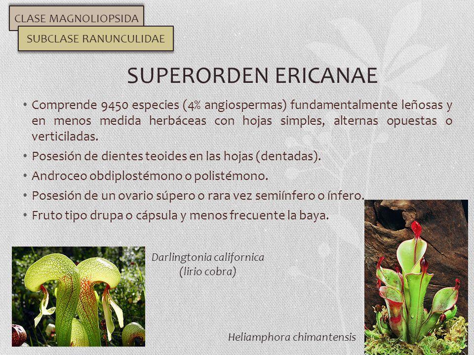 Comprende 9450 especies (4% angiospermas) fundamentalmente leñosas y en menos medida herbáceas con hojas simples, alternas opuestas o verticiladas. Po
