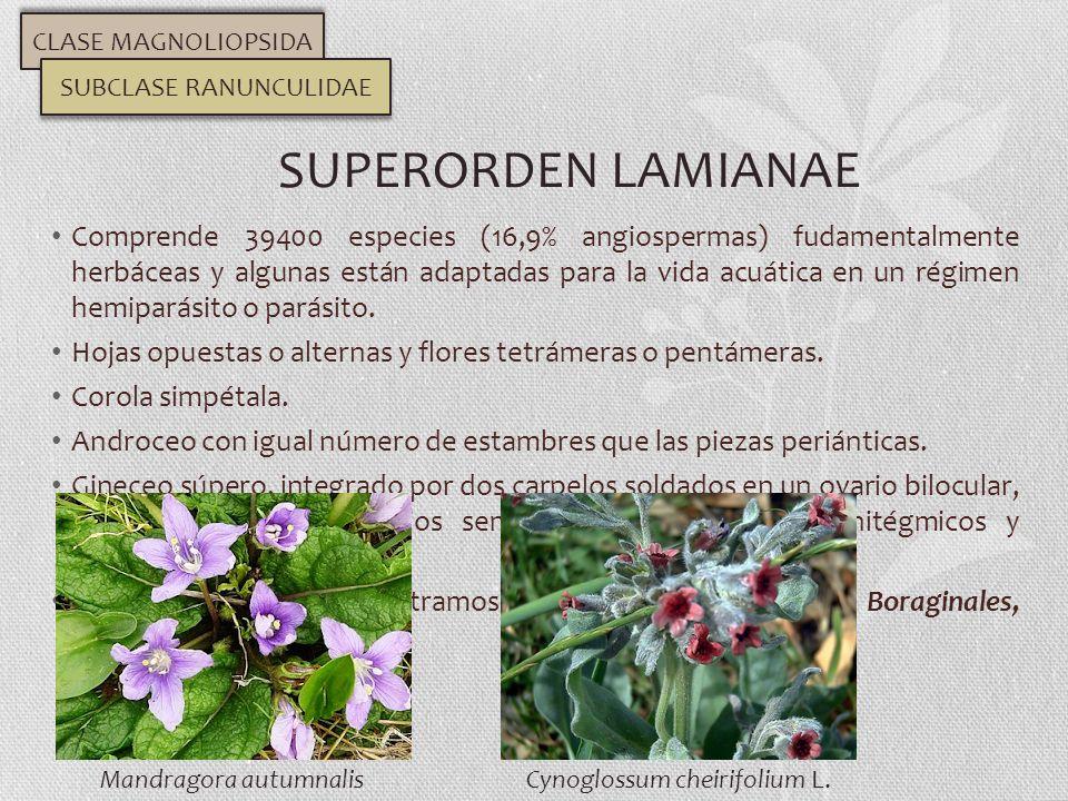 Comprende 39400 especies (16,9% angiospermas) fudamentalmente herbáceas y algunas están adaptadas para la vida acuática en un régimen hemiparásito o p