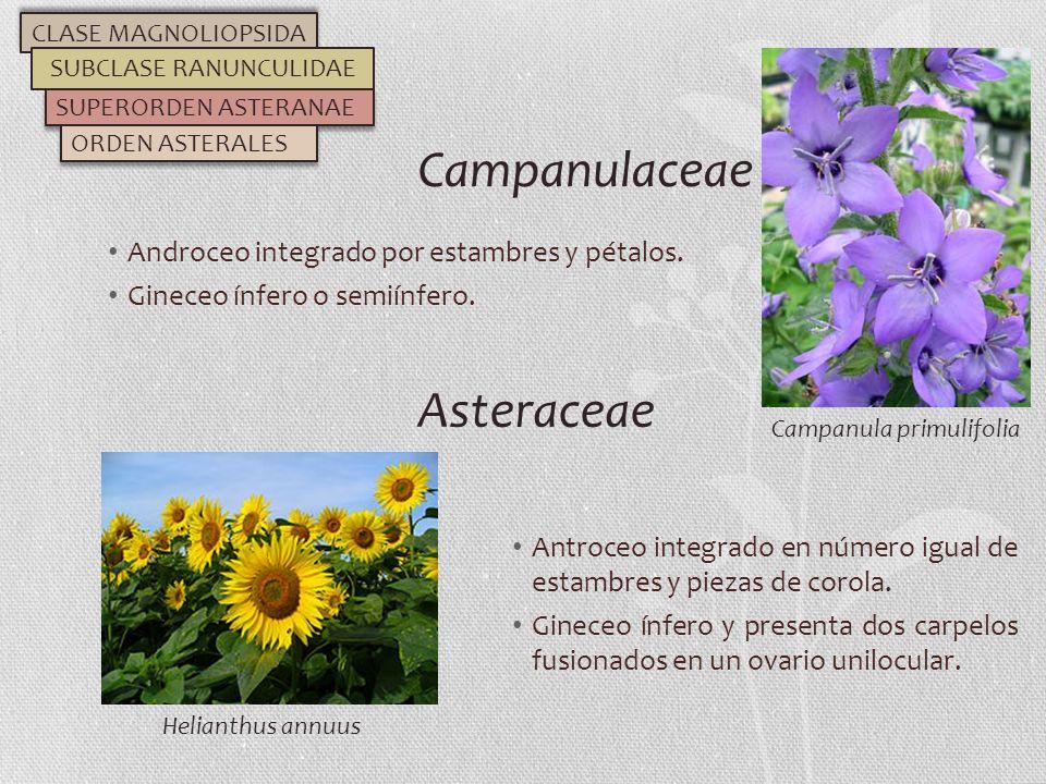 Androceo integrado por estambres y pétalos. Gineceo ínfero o semiínfero. Campanulaceae CLASE MAGNOLIOPSIDA SUBCLASE RANUNCULIDAE SUPERORDEN ASTERANAE