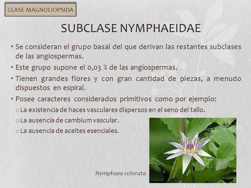 Se consideran el grupo basal del que derivan las restantes subclases de las angiospermas. Este grupo supone el 0,03 % de las angiospermas. Tienen gran