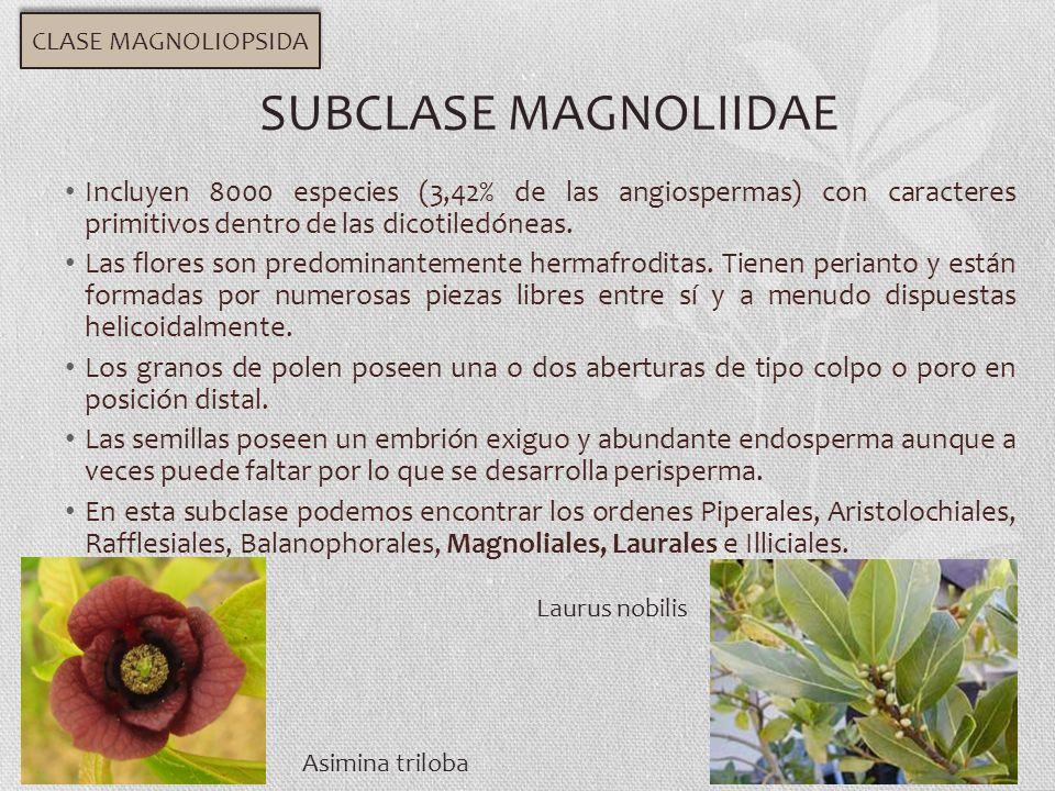 Incluyen 8000 especies (3,42% de las angiospermas) con caracteres primitivos dentro de las dicotiledóneas. Las flores son predominantemente hermafrodi