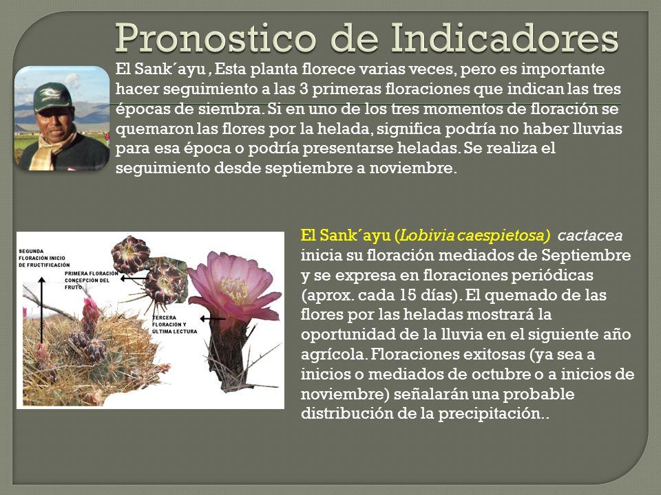 El Sank´ayu, Esta planta florece varias veces, pero es importante hacer seguimiento a las 3 primeras floraciones que indican las tres épocas de siembr