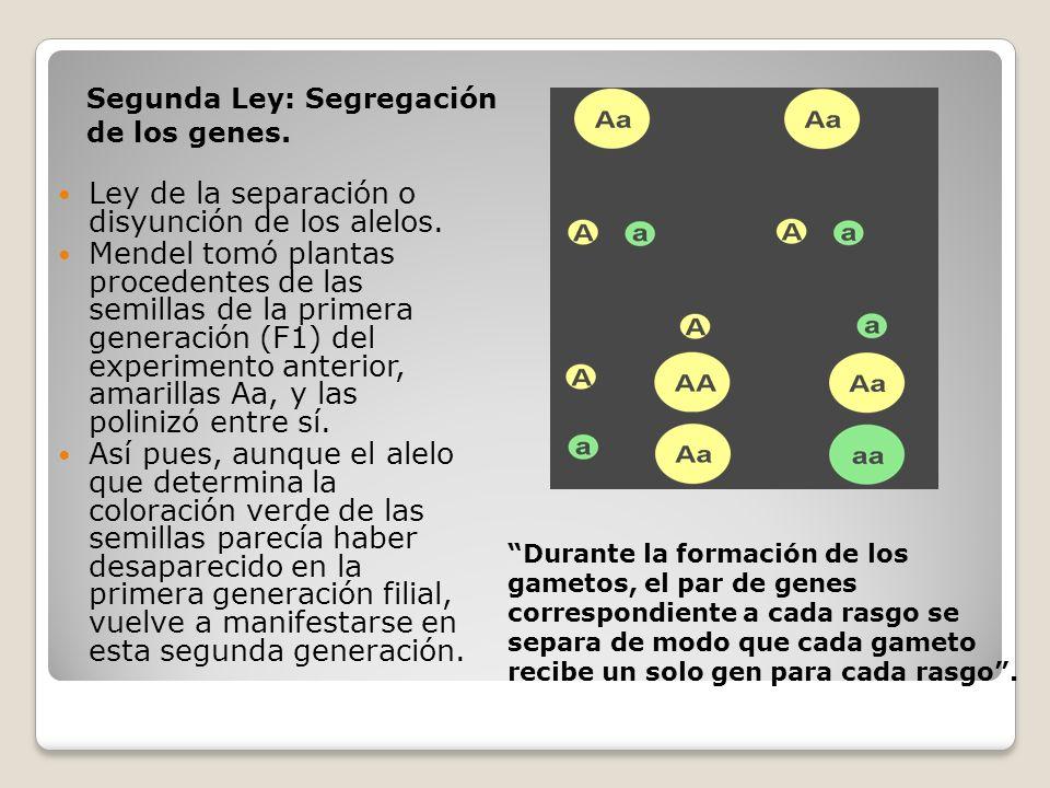 Segunda Ley: Segregación de los genes. Durante la formación de los gametos, el par de genes correspondiente a cada rasgo se separa de modo que cada ga