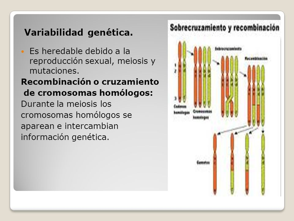 Variabilidad genética. Es heredable debido a la reproducción sexual, meiosis y mutaciones. Recombinación o cruzamiento de cromosomas homólogos: Durant