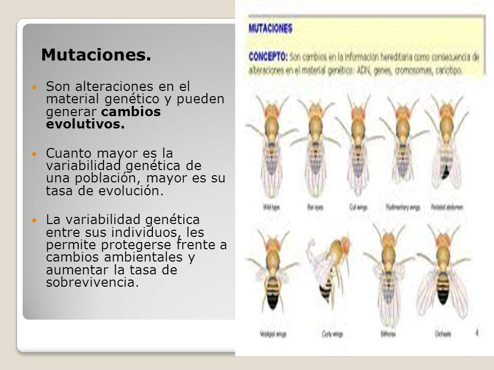 Mutaciones. Son alteraciones en el material genético y pueden generar cambios evolutivos. Cuanto mayor es la variabilidad genética de una población, m