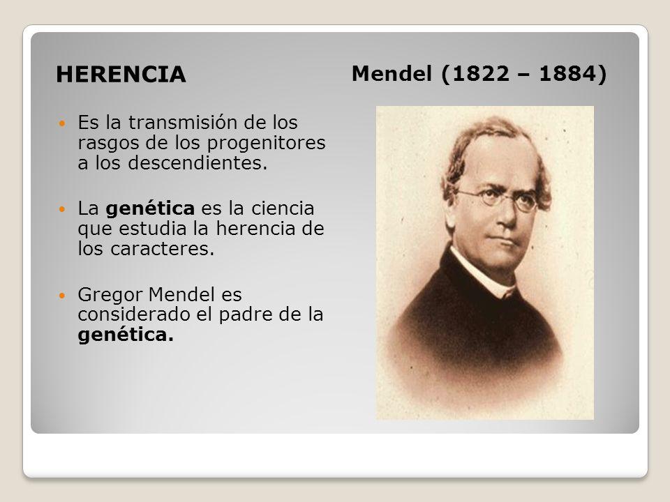 HERENCIA Mendel (1822 – 1884) Es la transmisión de los rasgos de los progenitores a los descendientes. La genética es la ciencia que estudia la herenc