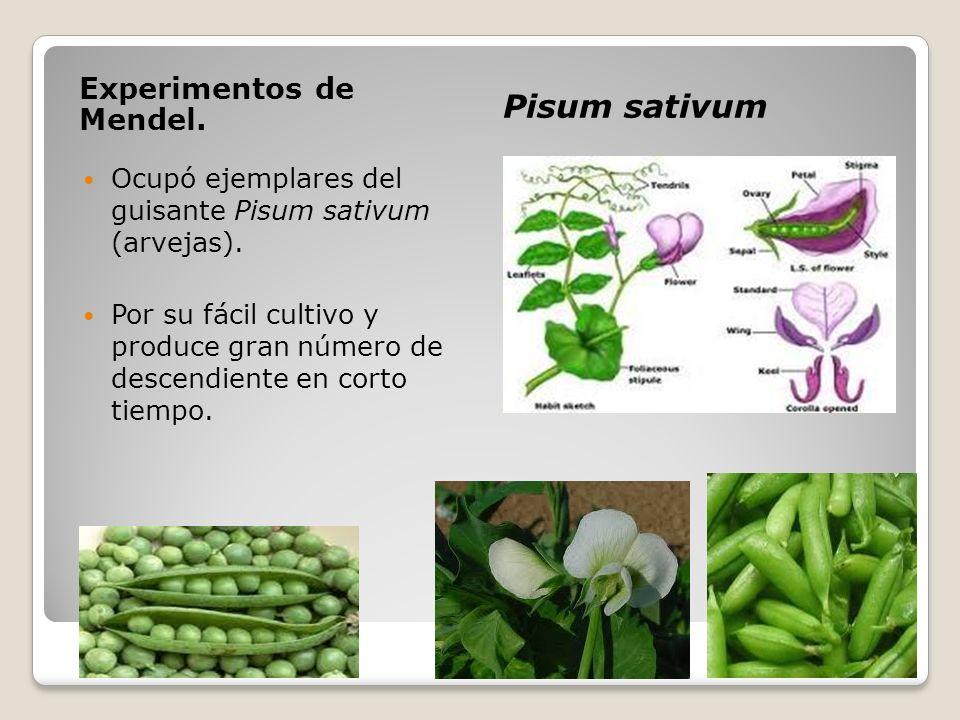 Experimentos de Mendel. Pisum sativum Ocupó ejemplares del guisante Pisum sativum (arvejas). Por su fácil cultivo y produce gran número de descendient