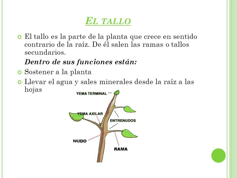E L TALLO El tallo es la parte de la planta que crece en sentido contrario de la raíz. De él salen las ramas o tallos secundarios. Dentro de sus funci