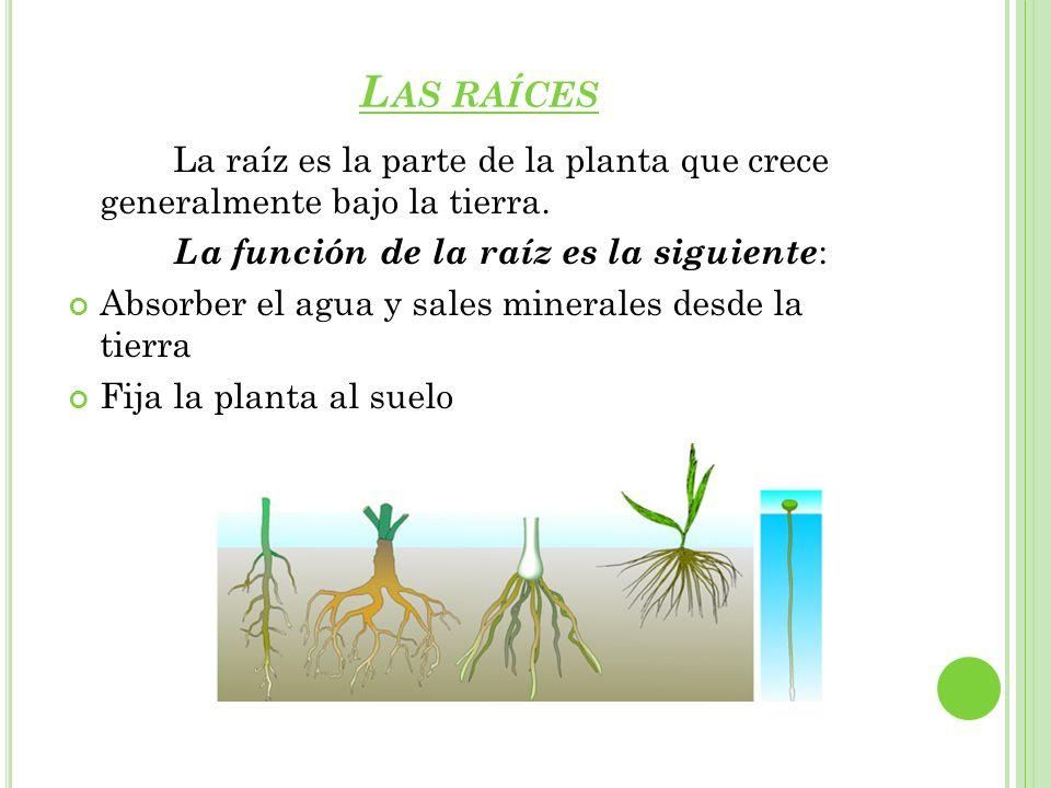 L AS RAÍCES La raíz es la parte de la planta que crece generalmente bajo la tierra. La función de la raíz es la siguiente : Absorber el agua y sales m