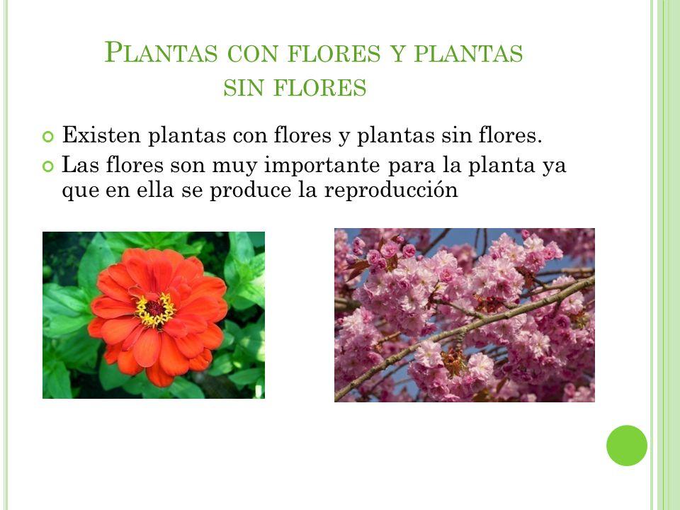 P LANTAS CON FLORES Y PLANTAS SIN FLORES Existen plantas con flores y plantas sin flores. Las flores son muy importante para la planta ya que en ella