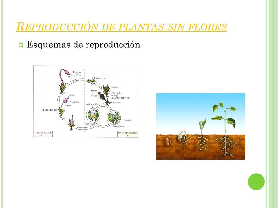 R EPRODUCCIÓN DE PLANTAS SIN FLORES Esquemas de reproducción