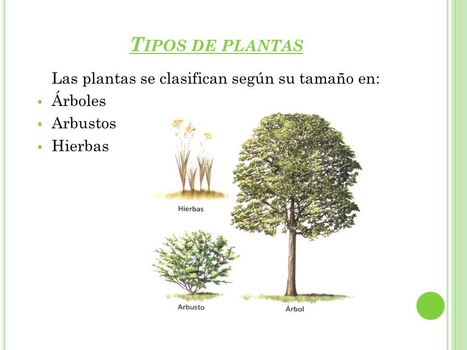 T IPOS DE PLANTAS Las plantas se clasifican según su tamaño en: Árboles Arbustos Hierbas