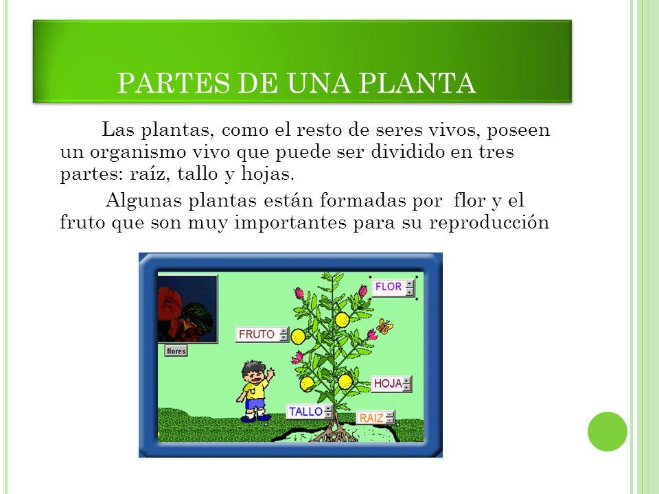 PARTES DE UNA PLANTA Las plantas, como el resto de seres vivos, poseen un organismo vivo que puede ser dividido en tres partes: raíz, tallo y hojas. A
