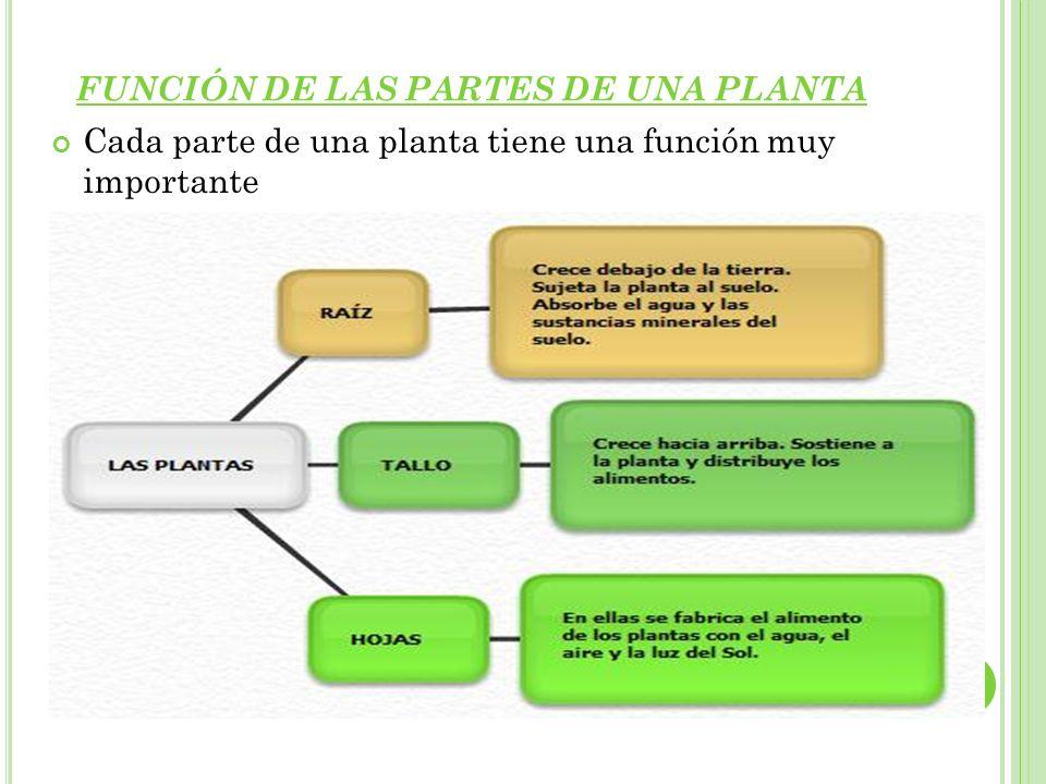 P LANTAS CON FLORES Y PLANTAS SIN FLORES Existen plantas con flores y plantas sin flores.