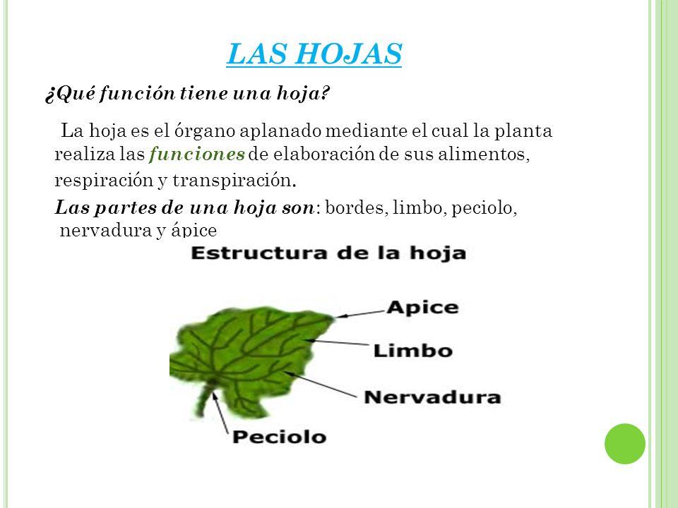 LAS HOJAS ¿ Qué función tiene una hoja? Las partes de una hoja son : bordes, limbo, peciolo, nervadura y ápice La hoja es el órgano aplanado mediante