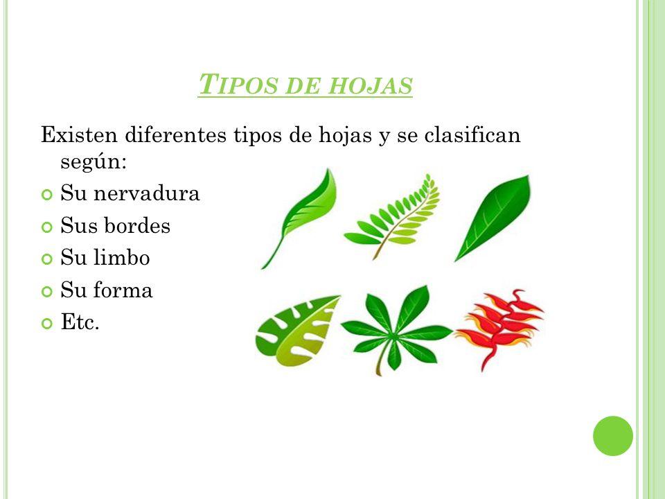T IPOS DE HOJAS Existen diferentes tipos de hojas y se clasifican según: Su nervadura Sus bordes Su limbo Su forma Etc.