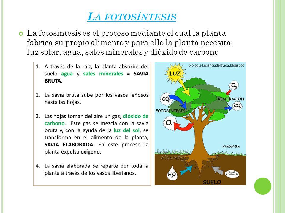 L A FOTOSÍNTESIS La fotosíntesis es el proceso mediante el cual la planta fabrica su propio alimento y para ello la planta necesita: luz solar, agua,
