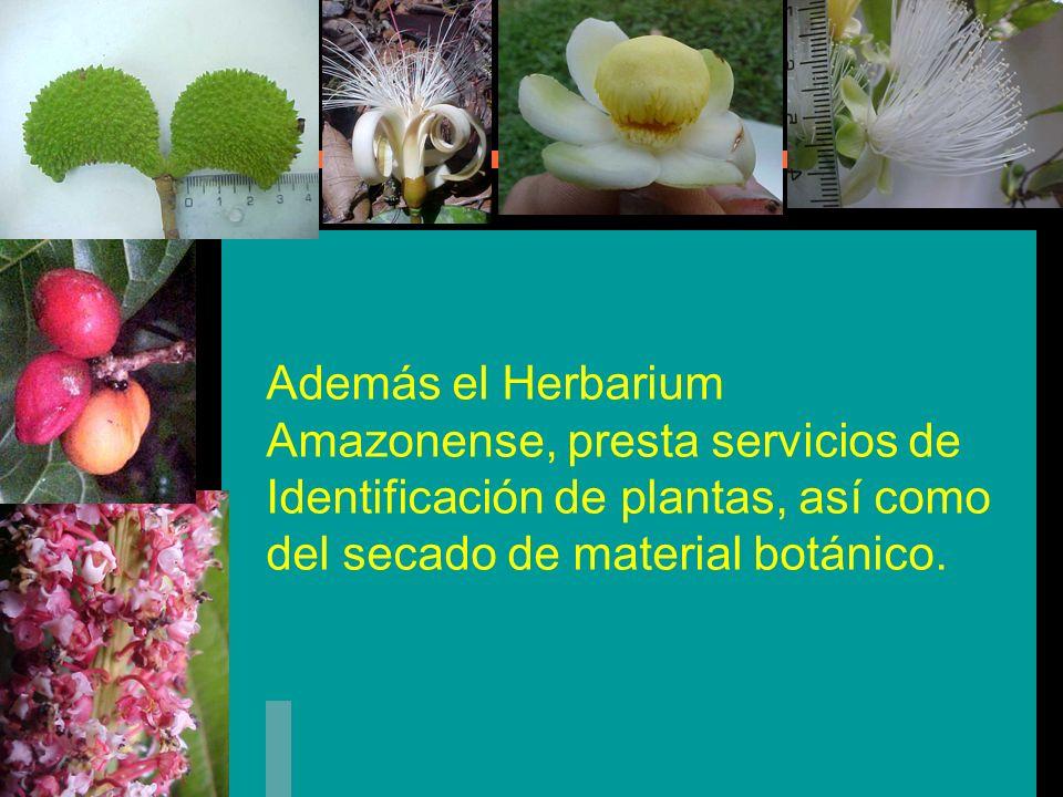 METAS DEL AMAZ Montar y registrar en la Base de Datos las muestras botánicas que se encuentran en el almacén; para poder cumplir una de las finalidades importantes del Herbario que es la de enseñanza e investigación.