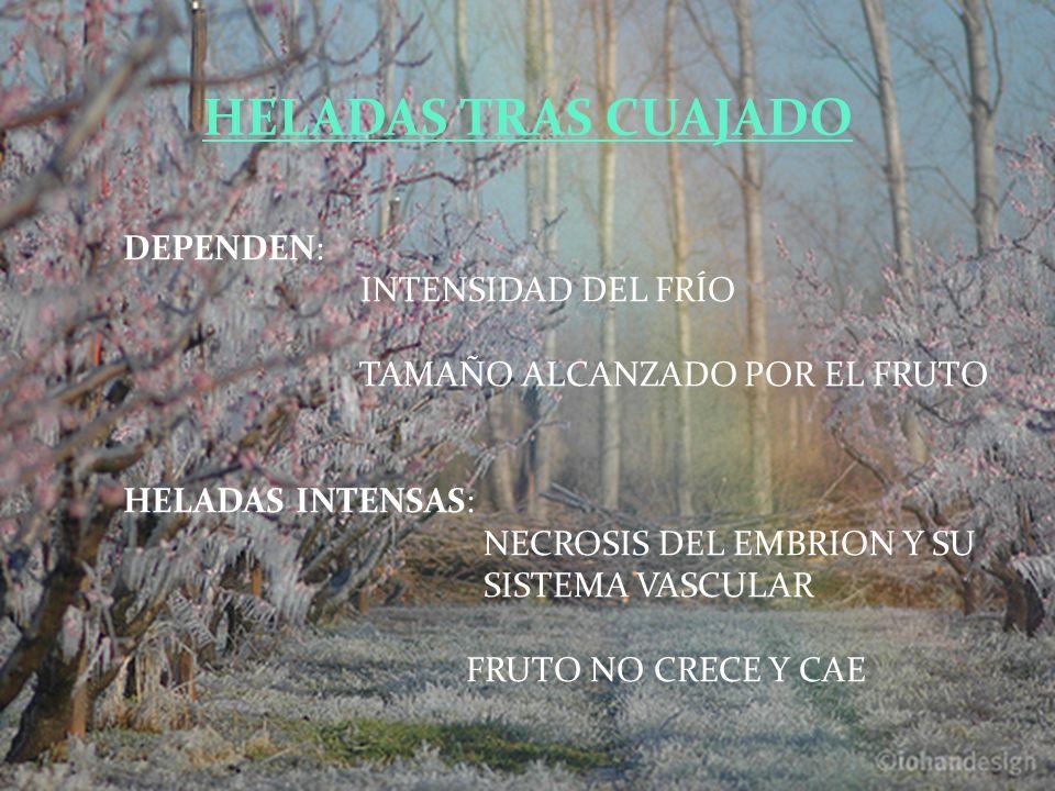 DEPENDEN: INTENSIDAD DEL FRÍO TAMAÑO ALCANZADO POR EL FRUTO HELADAS INTENSAS: NECROSIS DEL EMBRION Y SU SISTEMA VASCULAR FRUTO NO CRECE Y CAE HELADAS TRAS CUAJADO