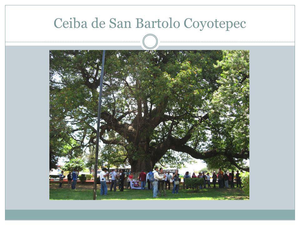 Ceiba de San Bartolo Coyotepec