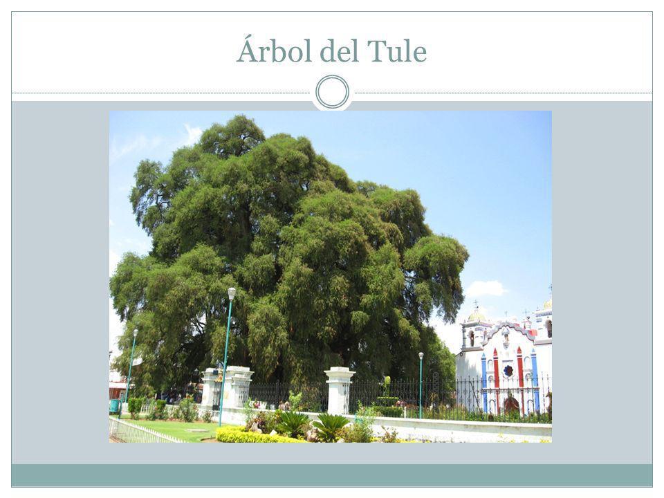 Árbol del Tule