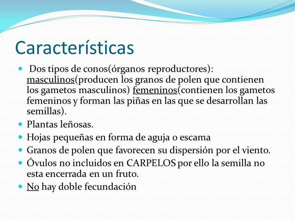 Características Dos tipos de conos(órganos reproductores): masculinos(producen los granos de polen que contienen los gametos masculinos) femeninos(con