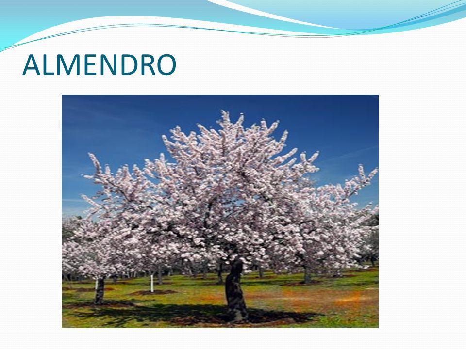 ALMENDRO