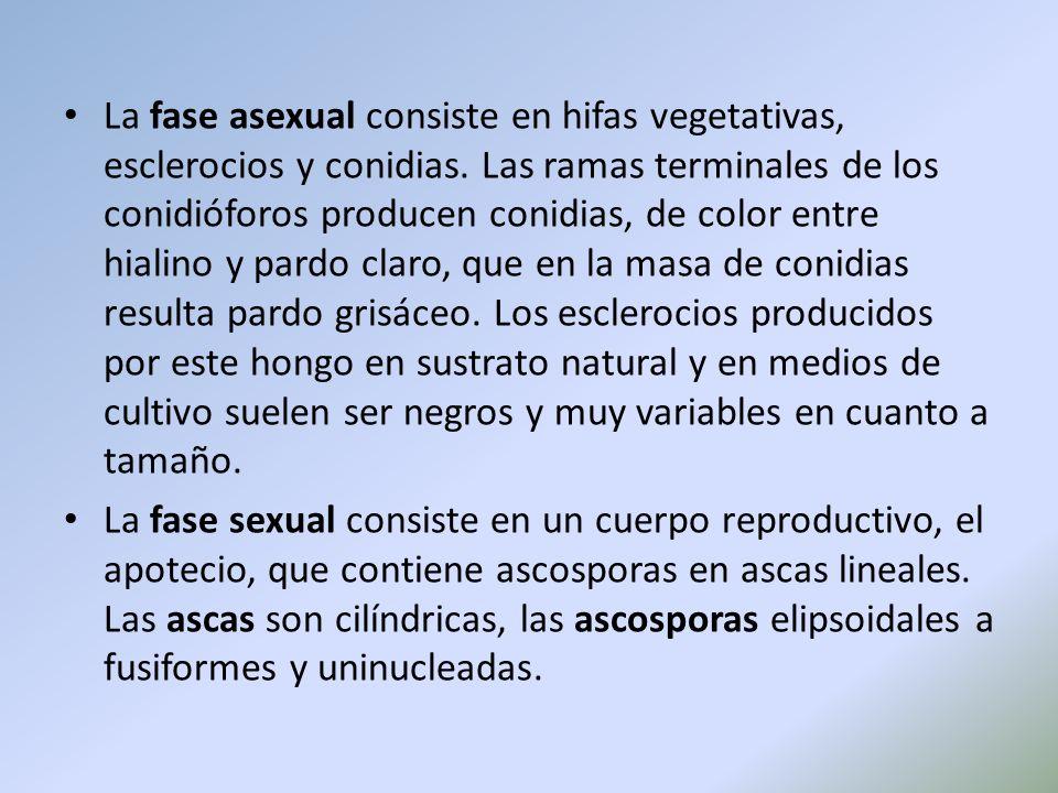La fase asexual consiste en hifas vegetativas, esclerocios y conidias. Las ramas terminales de los conidióforos producen conidias, de color entre hial