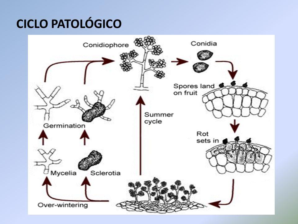 CICLO PATOLÓGICO