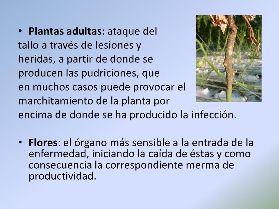 Plantas adultas: ataque del tallo a través de lesiones y heridas, a partir de donde se producen las pudriciones, que en muchos casos puede provocar el