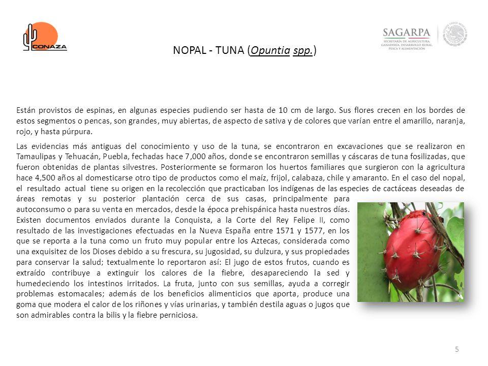 5 NOPAL - TUNA (Opuntia spp.) Están provistos de espinas, en algunas especies pudiendo ser hasta de 10 cm de largo. Sus flores crecen en los bordes de