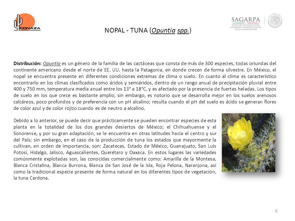 6 NOPAL - TUNA (Opuntia spp.) Debido a lo anterior, se puede decir que prácticamente se pueden encontrar especies de esta planta en la totalidad de lo