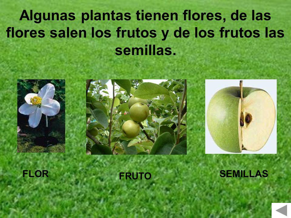 FLOR FRUTO SEMILLAS Algunas plantas tienen flores, de las flores salen los frutos y de los frutos las semillas.