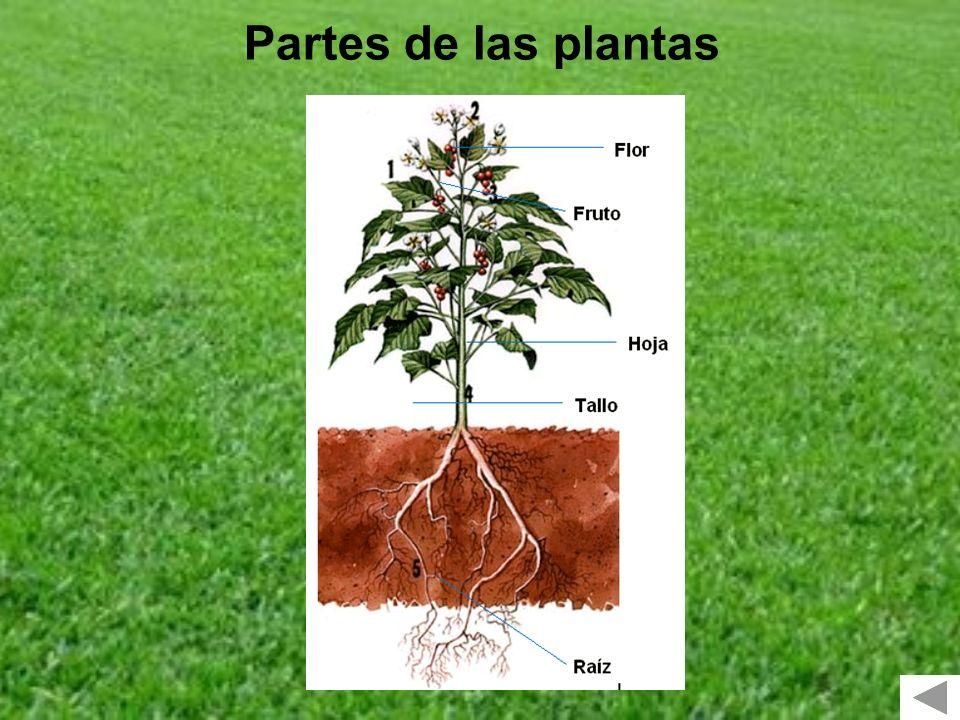 LAS PLANTAS TIPOS ARBUSTOS ÁRBOLES HIERBAS TALLO DURO RAMAS SALEN SUELO PEQUEÑASALTOSTALLO DURO TALLO BLANDO