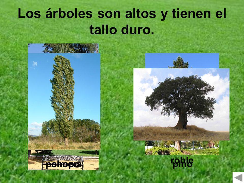 Los árboles son altos y tienen el tallo duro. chopopinopalmera roble