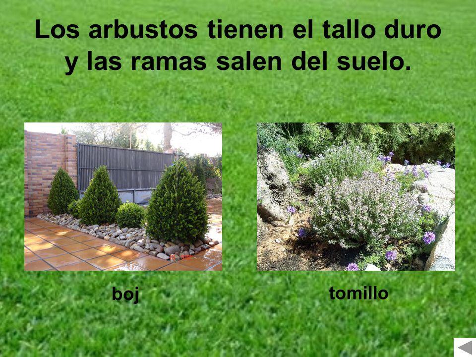 Los arbustos tienen el tallo duro y las ramas salen del suelo. boj tomillo