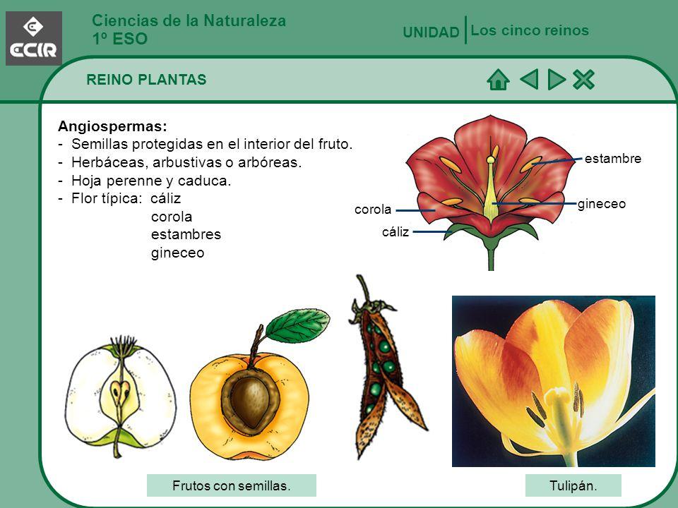 Ciencias de la Naturaleza 1º ESO REINO PLANTAS Los cinco reinos UNIDAD Angiospermas: - Semillas protegidas en el interior del fruto. - Herbáceas, arbu