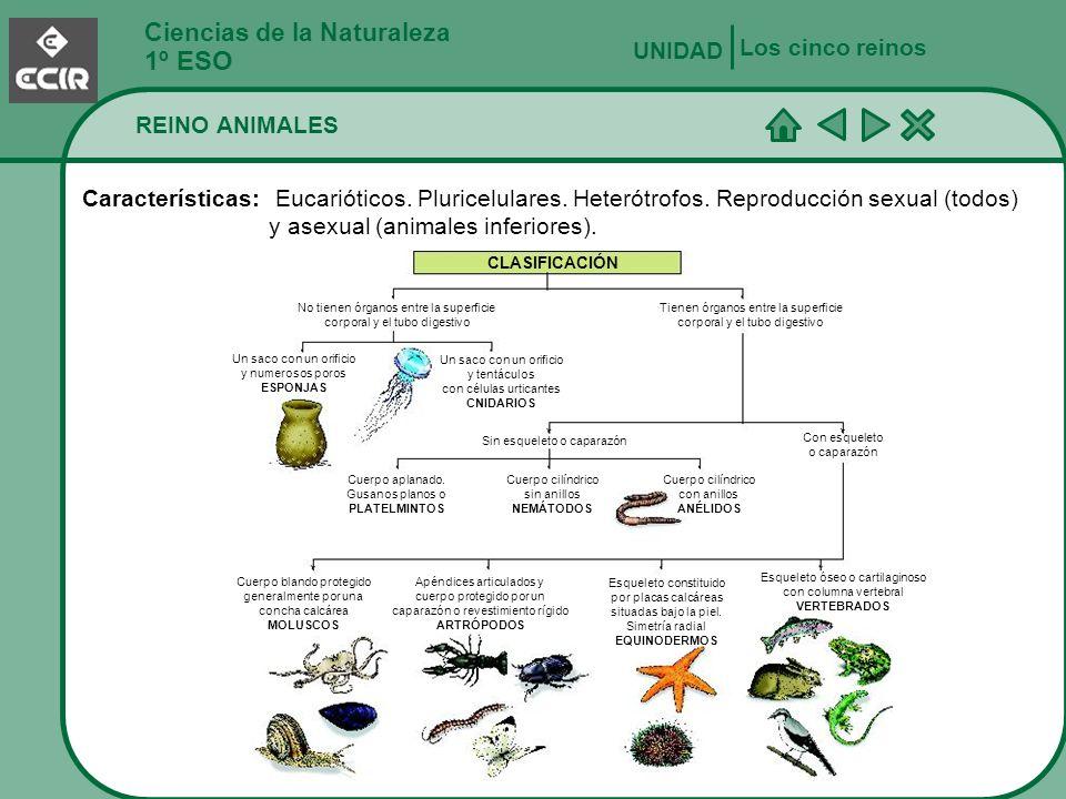 Ciencias de la Naturaleza 1º ESO REINO ANIMALES Los cinco reinos UNIDAD Características: Eucarióticos. Pluricelulares. Heterótrofos. Reproducción sexu