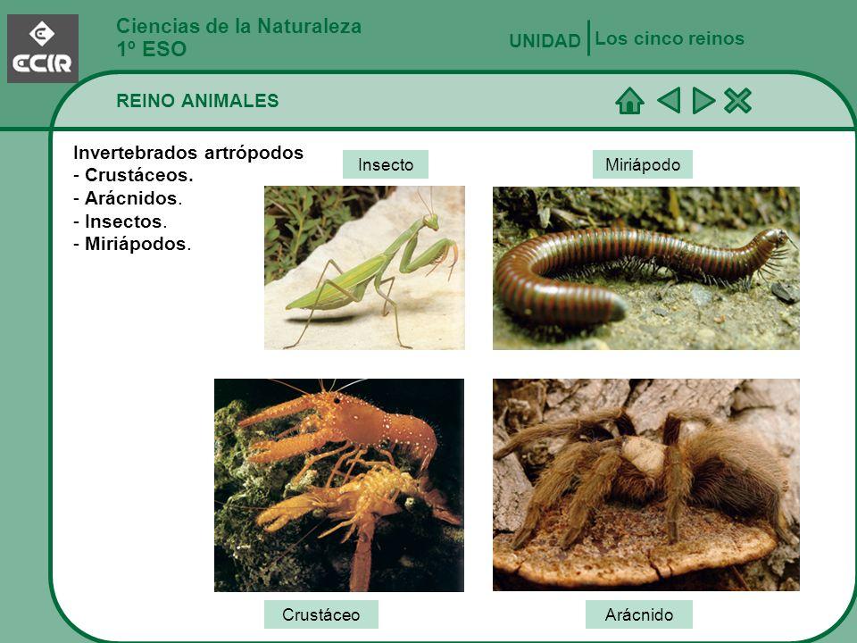 Ciencias de la Naturaleza 1º ESO REINO ANIMALES Los cinco reinos UNIDAD Invertebrados artrópodos - Crustáceos. - Arácnidos. - Insectos. - Miriápodos.
