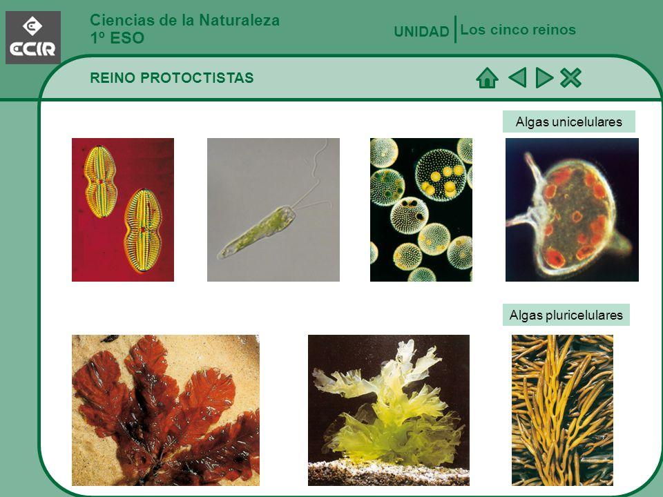 Ciencias de la Naturaleza 1º ESO REINO PROTOCTISTAS Los cinco reinos UNIDAD Algas unicelulares Algas pluricelulares