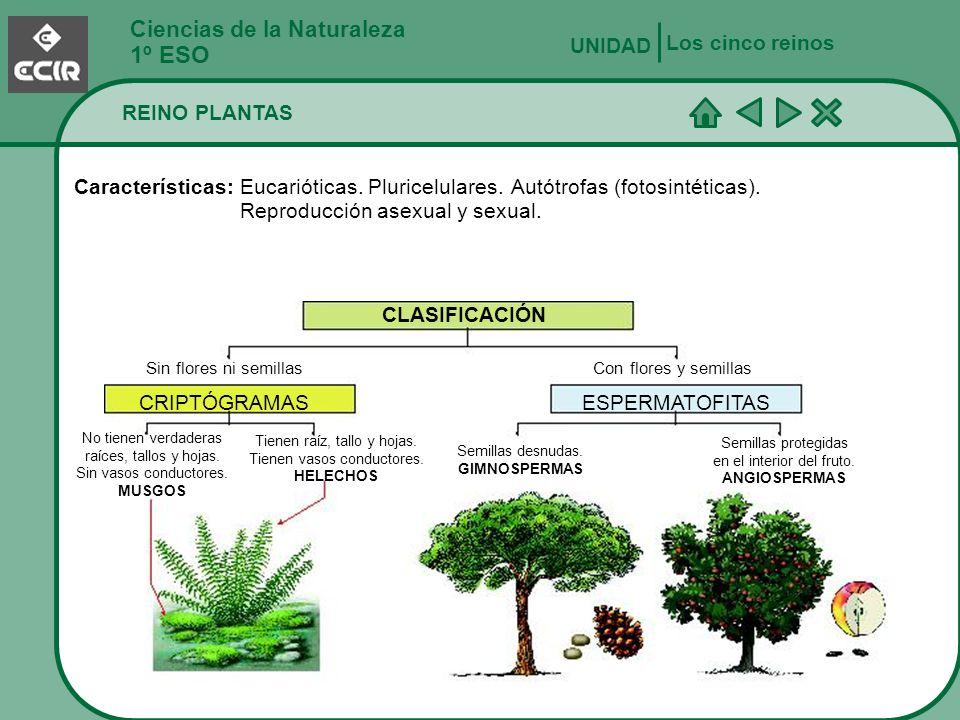 Ciencias de la Naturaleza 1º ESO REINO PLANTAS Los cinco reinos UNIDAD Características: Eucarióticas. Pluricelulares. Autótrofas (fotosintéticas). Rep