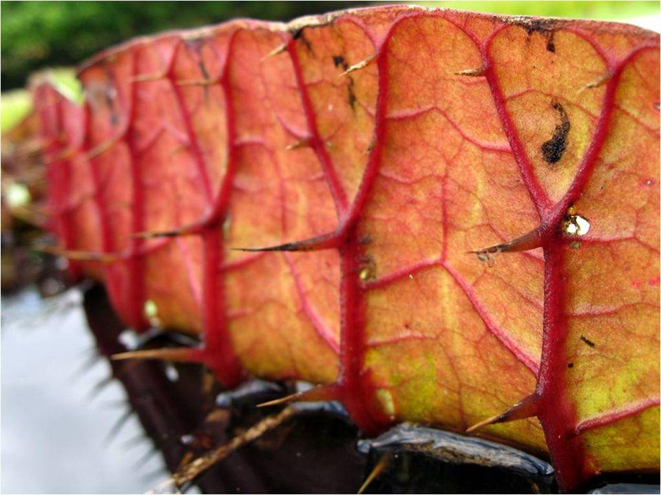 La planta está armada por todas partes, excepto por la superficie, con espinas, que las protegen de depredadores.
